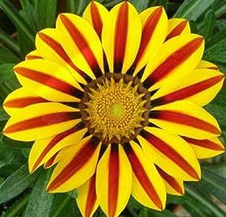 Beautiful Yellow Red Stripe Gazania Rigens Seeds Flowers Seeds 80 Seeds