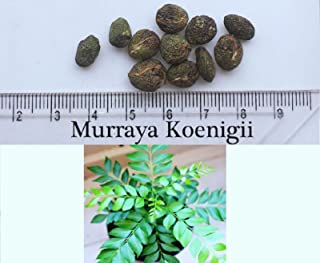 Best growing curry leaf tree Reviews