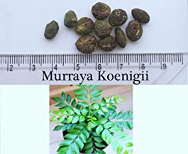 6 Fresh Seeds of Curry Leaves Tree