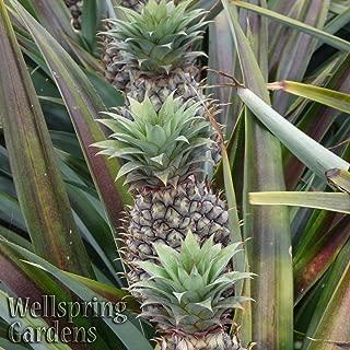 Pineapple Live Fruiting Plant 'Kona Sugarloaf' Ananas comosus Edible fruit