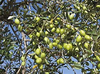 Olive Tree 'Mission' Olea Europaea Live Plant GG