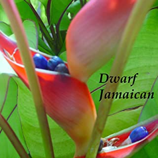 ~Dwarf Jamaican~ Heliconia stricta Blushing RED Flowers Live sml potted plant