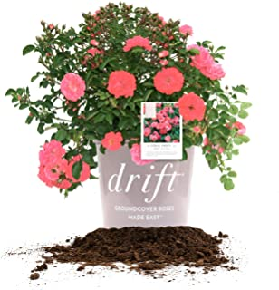 Perfect Plants Coral Drift Rose Live Plant, 3 Gallon, Includes Care Guide