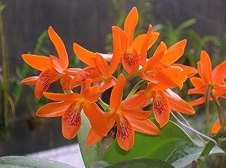 Cattleya Aurantiaca Adulta