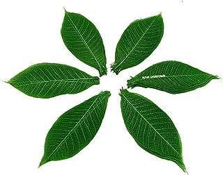 NAVA CHIANGMAI Rubber Tree Leaves - Pack of 100 Skeleton Leaves Decorative DIY Craft, Artificial Leaves Craft Card Scrapbook DIY Handmade Embellishment Decoration Art (Green)