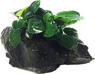 Dwarf Anubias Nana Petite on Driftwood Live Aquarium Plants Fish Tank Decorations Water Plants by Greenpro