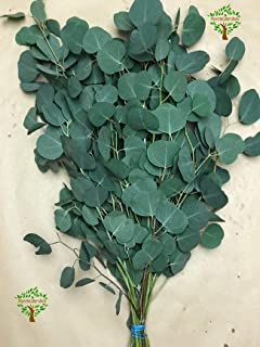 Best preserved eucalyptus wholesale Reviews