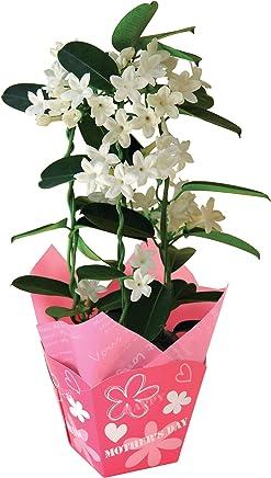 母の日 マダガスカルジャスミン フラワーギフト 鉢植え 4号鉢
