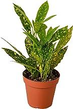 "HOUSEPLANTSHOP   Live 'Gold Dust' Croton - 4"" Pot   Live Indoor Plant   Free Care Guide in Pot - Live Plant - FREE Care Gu..."