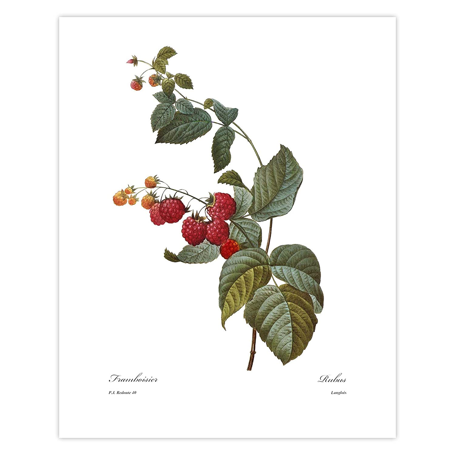 Fruit Art Raspberry Print Red Kitchen Wall Berry Botanical Directly managed store De National uniform free shipping