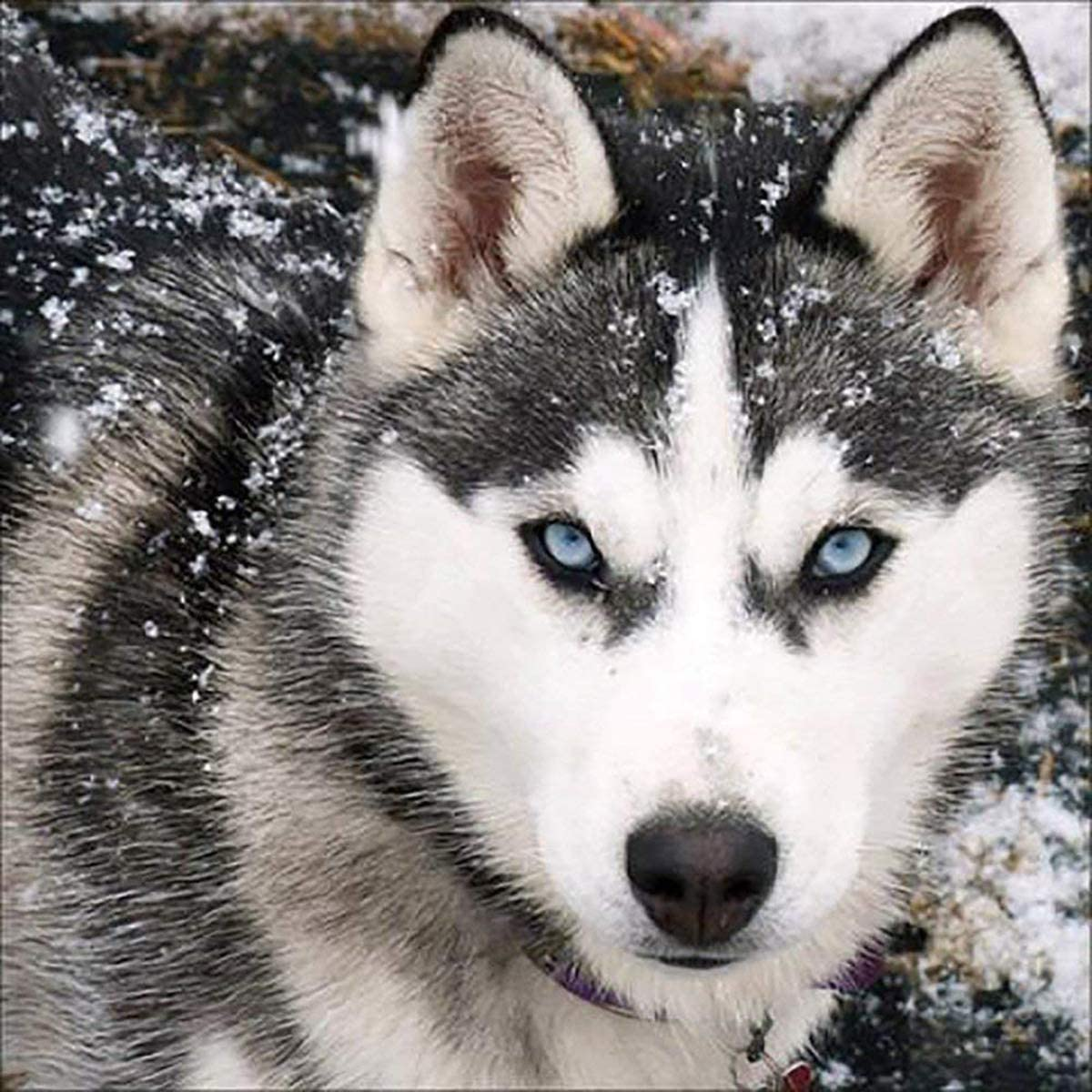 DIY 5D Diamond Painting Kit Dog Embroidery Husky Ranking TOP12 Full Popular brand in the world R