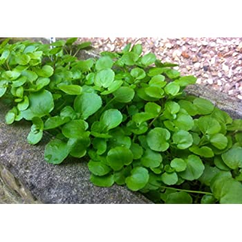 Go Green Water Cress Leaves Herbs Seeds (Pack of 50 seeds)