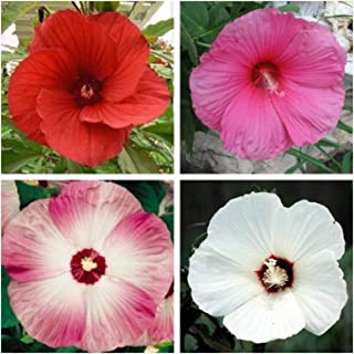 25 Mixed Luna Hibiscus Moscheutos Hardy Red Hot Pink Swirl White Flower Seeds #LKY