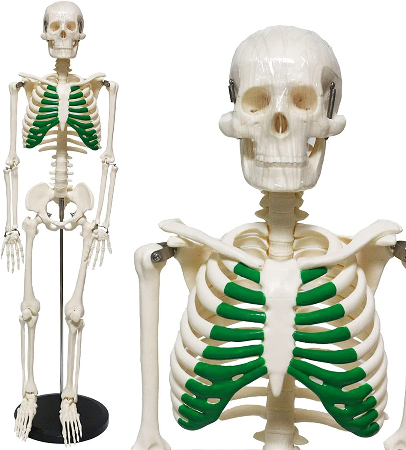 Louisville-Jefferson County Mall Human Skeleton New life Anatomy Model - Removable Tra Medical Educational