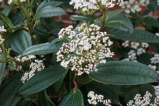 Live American Arborvitae aka Thuja occidentalis 'Rheingold' Plant Fit 2 Gallon Pot