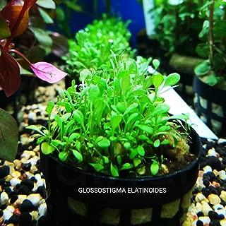 glossostigma elatinoides carpet