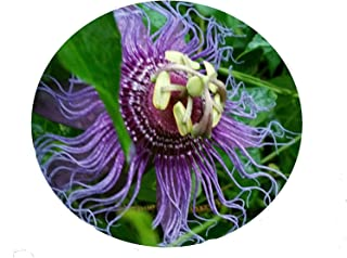 100PCS Incense Violet Purple Blue Passion Flower Vine Live Plant Passiflora Incarnata innata Starter Passion Seeds