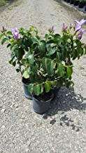 PlantVine Cryptostegia grandiflora, Purple Allamanda/Rubber Vine - Large, Bush - 8-10 Inch Pot (3 Gallon), Live Plant