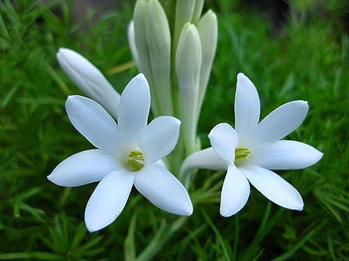 Kraft Seeds Gate Garden Rajnigandha Double Flowering Fragrant Polianthes Tuberosa Flower Bulbs/Seeds (White, 5 Bulbs ...