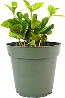 9GreenBox - Arabica Coffee Plant - 4