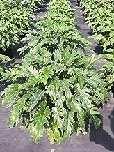 PlantVine Philodendron 'Deja Vu' - Extra Large - 12-14 Inch Pot (7 Gallon), Live Plant