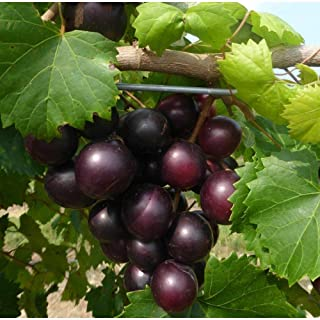 10 Seeds Muscadine Grape Vitis Rotundifolia Organic #GBR1