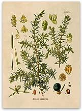 Juniper Plant Print - Floral Botanical Illustration Poster