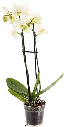 Vanilla planifolia Medium Plant seedsown Vanilla Orchid