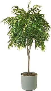 Ficus binnendijkii 'Alii', Ficus maclellandii 'Alii', Long Leaved Fig - 3 Gallon Live Plant - Braided Trunk