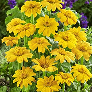 Outsidepride Yellow Tithonia Mexican Sunflower Plant Flower Seed - 500 Seeds
