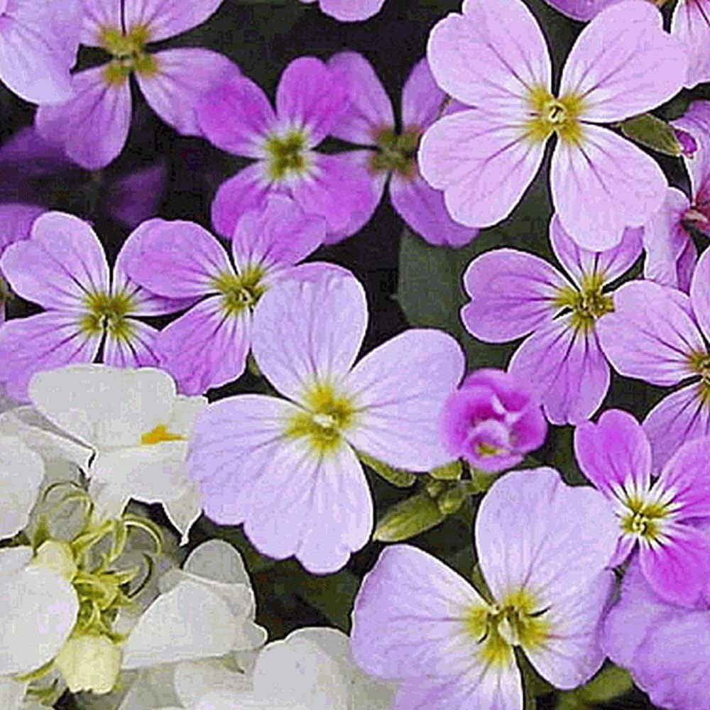 2000 Virginia Stock NEW before selling Wildflower Max 59% OFF Seeds