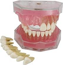 teeth anatomy model