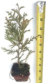 TkChili 10 Rheingold Cedar, Thuja occidentalis 'Rheingold', Golden Foliage 6