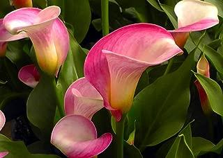 Super Gem Calla Lily Bulb - 16/18cm Bulb - Hot Pink Blooms