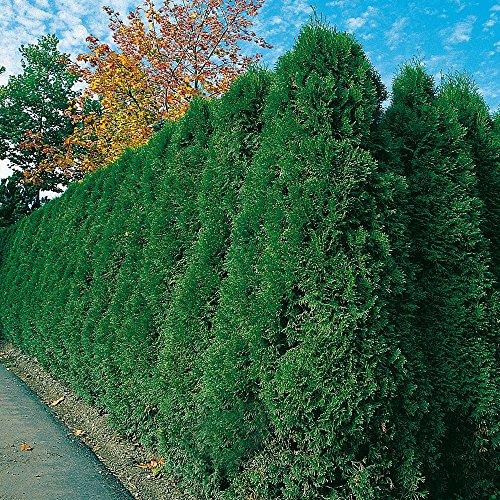 Thuja Smaragd Occidentalis - Lebensbaum winterhart & pflegeleicht - Thujen-Hecke als Sichtschutz - Heckenpflanze 30-40 cm - 1 Pflanze im Container von Garten Schlüter - Pflanzen in Top Qualität