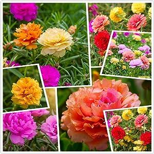 hua xian zi,Moss Rose (Portulaca Grandiflora) Mixed Colors 10000+ Fresh Seeds
