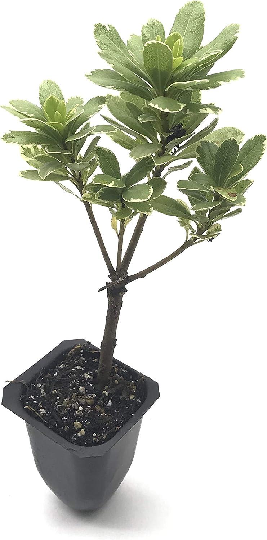 Variegated Pittosporum 新品未使用正規品 - 10 Live Plants 『1年保証』 2 Inch Tob