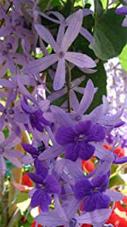 Petrea volubilis | Queens Wreath | Bluebird Vine | 10_Seeds