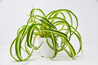 Spider Plant 'Bonnie Variegated' - Live House Plant - Free Care Guide - 4