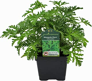 Garden Elements Live Citronella Mosquito Plant - 4 Inch Pot - Repels Mosquitoes (1)