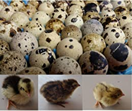 coturnix quail chicks for sale