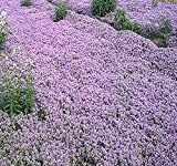Big Pack x Alyssum Royal Carpet Flower Seeds (10,000) - Fragrant Lobularia maritima - Attracts Honey Bees, Birds, Butterfly - Ground Cover for Zones 3 and Up - by MySeeds.Co (Big Pack - 10,000 Seeds)