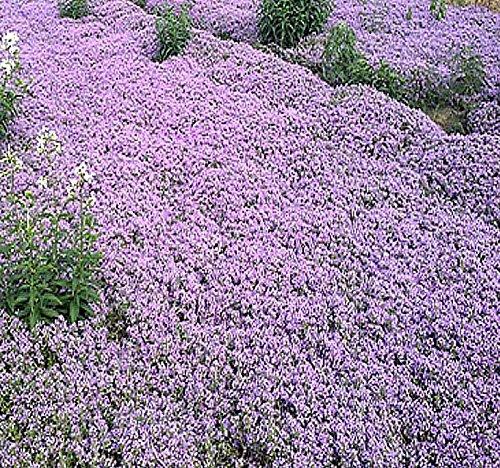 1 oz x (Reg) Creeping Thyme Herb Seeds - Thymus serpyllum - Excellent Ground Cover - Butterflies Love It - by MySeeds.Co (Reg Creeping Thyme - 1 oz)