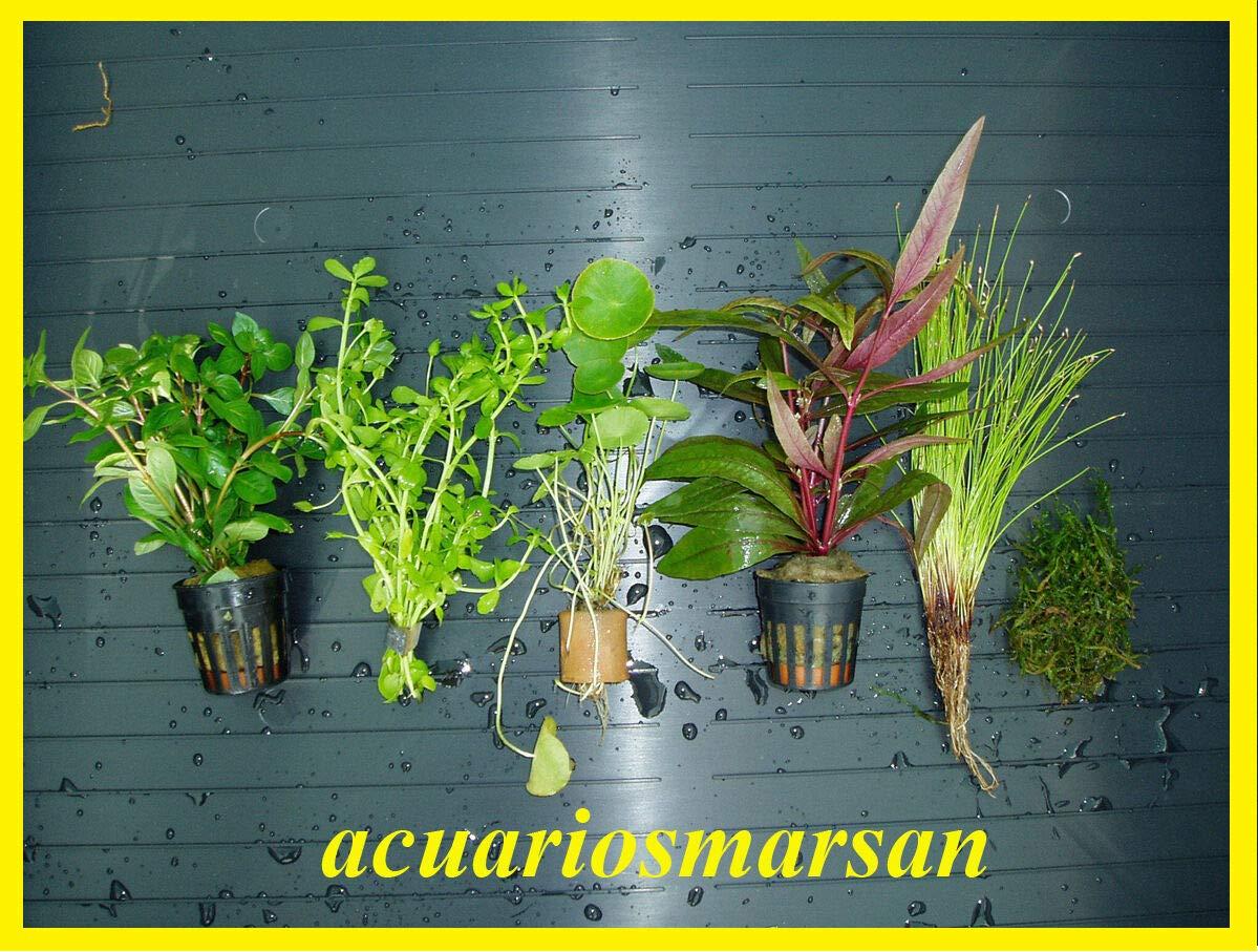 ACUARIOS MARSAN Plantas de Acuario, gambario. Lote 6 Tipos C: Amazon.es: Productos para mascotas