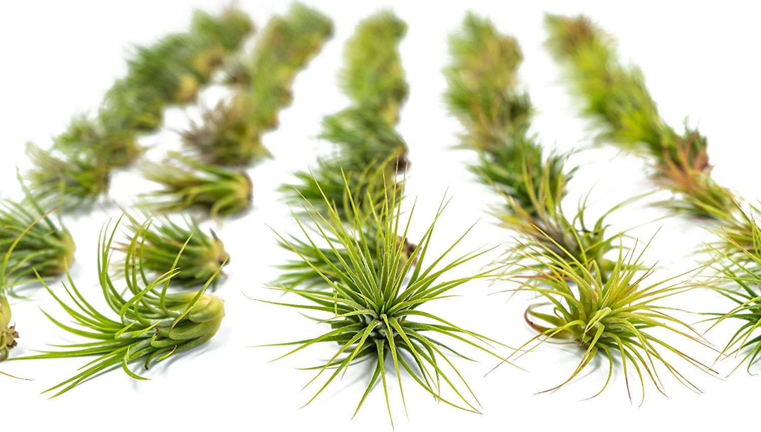 Large Ionantha Tillandsia Year-end gift Air Plant Pack to Financial sales sale 3.5 Each 2 Inches -