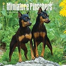 Miniature Pinschers 2018 12 x 12 Inch Monthly Square Wall Calendar, Animals Dog Breeds
