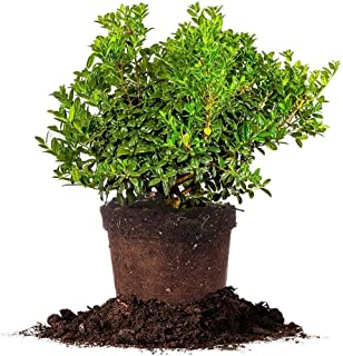 Best dwarf burford holly for sale Reviews
