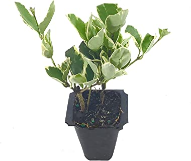 Ligustrum Japonicum Jack Frost Privet - 10 Live Plants - Variegated Evergreen Hedge