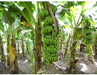 Banana Trees Live Plants Grand Nain Banana Tree Plant Musa Four (4)