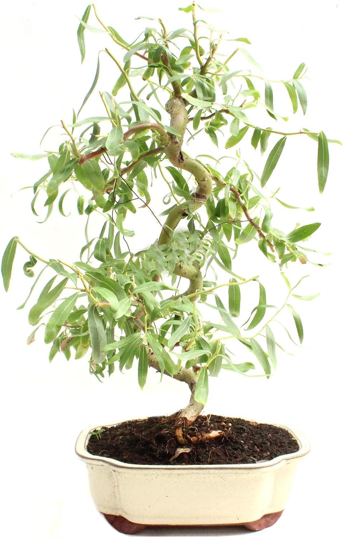 Corkscrew Willow Bonsai